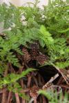 Растение в горшке - Даваллия