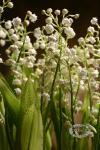Композиция цветов композиция из ландышей - Дыхание весны