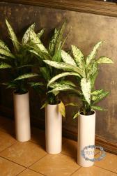 Растение в горшке - Диффенбахия