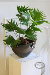 Растение в горшке - Ливистона