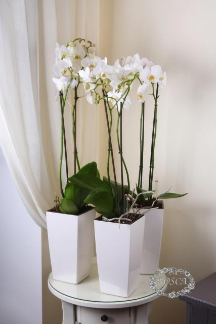 Растение в горшке - Орхидея Фаленопсис